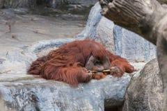 Orang-Utan Lüge auf dem Felsen Lizenzfreie Stockfotos