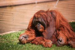 Orang-Utan in Lissabon-Zoo Stockfoto