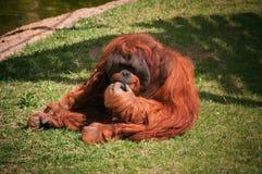 Orang-Utan in Lissabon-Zoo Lizenzfreie Stockbilder