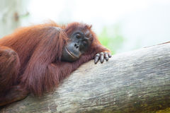 ORANG UTAN IN A LONELY MOOD Stock Photo