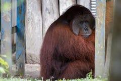 Orang-Utan Mann im Wald in Borneo Lizenzfreies Stockfoto