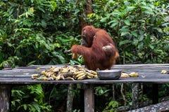 Orang-Utan mit dem Baby, das in den Wald n Borneo einzieht stockbild