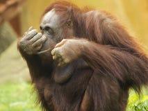 Orang-Utan mit dem Finger auf Nase Lizenzfreie Stockfotografie