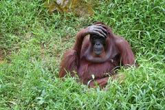 Orang-Utan mit der Hand auf der Stirn Stockfotos