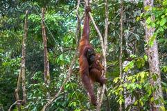 Orang-Utan mit einem Baby Stockbild