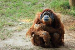 Orang-Utan mit einer Fliege auf der Lippe Stockfotografie