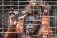 Orang-Utan mit ihrem Baby Stockbild