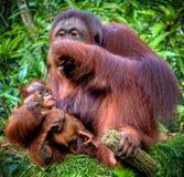 Orang-Utan mit Jugendlichem lizenzfreies stockfoto