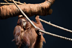 Orang-Utan mit verrücktem Blick auf ihrem Gesicht Stockfoto