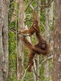 Orang-Utan mit zwei Rottönen, der an den Bäumen im Dschungel (Borneo/Kalimantan hängt, Indonesien) Stockbilder