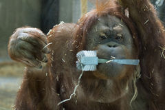 Orang utan monkey close up portrait Stock Image