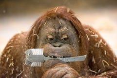 Orang utan monkey close up portrait Stock Photo