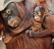 Orang utan mother Royalty Free Stock Images