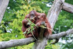 Orang Utan mother with baby. Eating corn, sitting on wooden trunk. Made in Zoo Apenheul Netherlands royalty free stock images