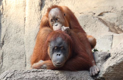 Orang Utan mother with child Royalty Free Stock Images