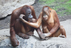 Orang Utan mother with child Stock Photography