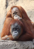 Orang Utan mother with child Royalty Free Stock Photography