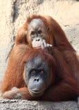 Orang Utan mother with child Stock Image
