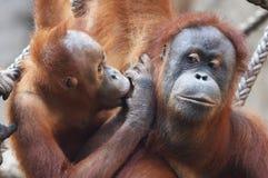 Orang Utan mother wt its child Stock Images