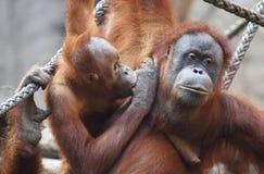 Orang Utan mother wt its child Royalty Free Stock Photos