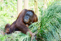 Orang-Utan Mutter Lizenzfreies Stockfoto