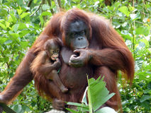 Orang-Utan Mutter u. Baby Stockfotos