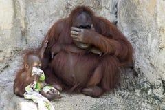Orang-Utan Mutter u. Baby mit Decke Stockfoto