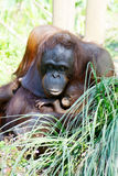 Orang-Utan Mutter und Baby Lizenzfreie Stockbilder