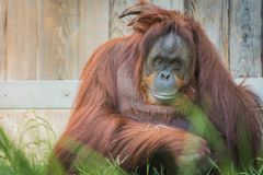 Orang-Utan am nationalen Zoo Lizenzfreie Stockfotos
