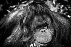 Orangutan wishng she was somewhere else. A Orang utan native of Indonesia and Malaya is an endangered species. 19 August 2018 is World Orangutan day Royalty Free Stock Image