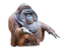 Orang utan obsiadanie na bielu 3 Fotografia Royalty Free