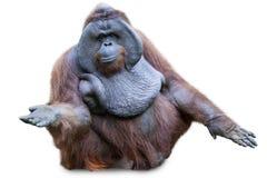 Orang utan obsiadanie na bielu Zdjęcie Royalty Free