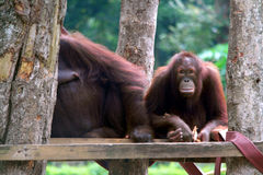 Orang Utan, Orangutan Obrazy Stock