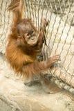 Orang Utan - orangutang Стоковое Изображение