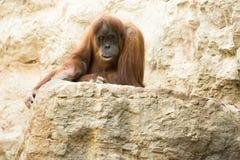 Orang Utan - orangutang Royalty Free Stock Photography