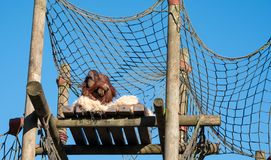 Orang Utan perched at the top of a wooden structure against clear blue sky. Photographed at Monkey World Ape Rescue Centre royalty free stock photo