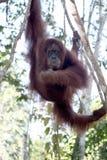 Orang utan, Pongo abelii. Single mammal in tree, Sumatra, January 2016 Stock Photo