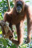 Orang utan, Pongo abelii. Two mammals in tree, Sumatra, January 2016 Stock Images