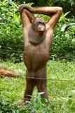 Orang-Utan (Pongo pygmaeus) in Saigon (Vietnam) Lizenzfreies Stockbild