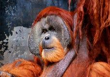 Orang utan posing. Orang utan in Borneo jungle royalty free stock photo