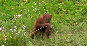 Orang utan, pygmaeus del pongo, joven en la vegetación, cámara lenta metrajes