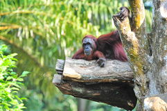 Orang Utan resting Royalty Free Stock Photography