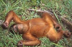 Orang utan, Sabah, Malaysia Stock Photo