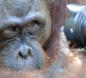 Orang-Utan schaut in der Kamera Ein Porträt des jungen Orang-Utans auf einem Spitznamen Ben Schließen Sie oben in einer kurzen En Lizenzfreies Stockbild