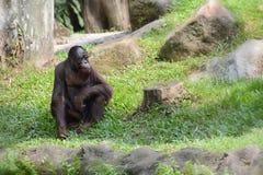 Orang-Utan an Singapur-Zoo Lizenzfreies Stockfoto