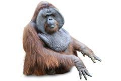 Orang utan sitting on white 2 Stock Photo