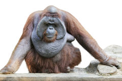Orang utan sitting on white 4 Stock Images