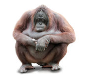Orang Utan sitting on whiteboard background Royalty Free Stock Photography