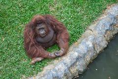 Orang-Utan sitzen auf dem Gras Lizenzfreie Stockfotografie