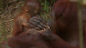 Orang-utan tears, orang utan island stock video footage
